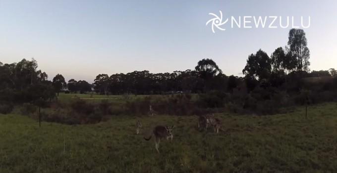Kaenguruh boxt Quadcopter vom Himmel